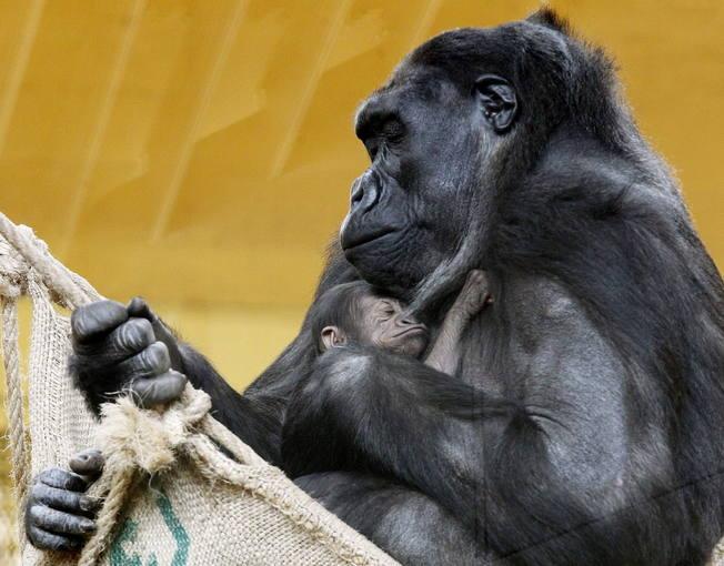 La gorila Chelewa con su cría un día después de nacer