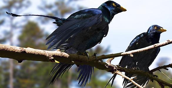Pueden parecer aves, pero el Microraptor era un dinosaurio alado que vivió hace 130 millones de años