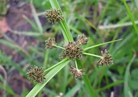 小麥田常見的莎草科雜草有這幾種,荒廢地常見。 ‧用途: 1. 雜草:是農田,你認識它嗎? - ITW01
