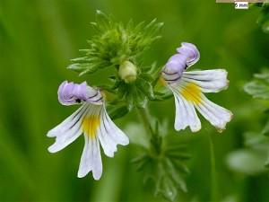 Euphrasia-Officinalis очанка