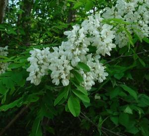 бяла акация Robinia-pseudoacacia
