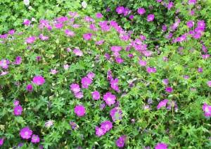 geranium-sanguineum кървавочервен здравец