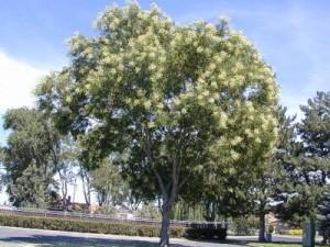 японска софора Sophora-japonica