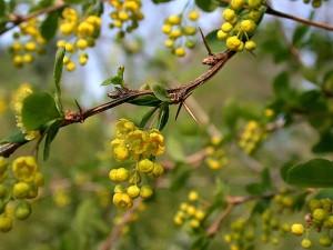 кисел трън Berberis-vulgaris