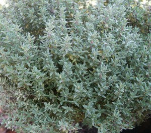 mashterka-Thymus-vulgaris