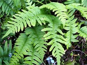 сладка папрат Polypodium-vulgare