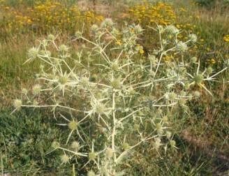 ветрогон Eryngium campestre