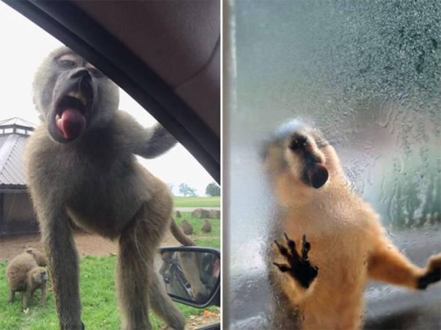 动物绝对喜欢舔窗户