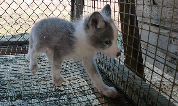 Cute Tamed Foxes 12 pics Izismilecom