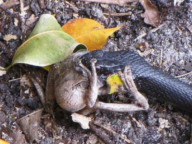 Toad vs. Snake (28 pics)