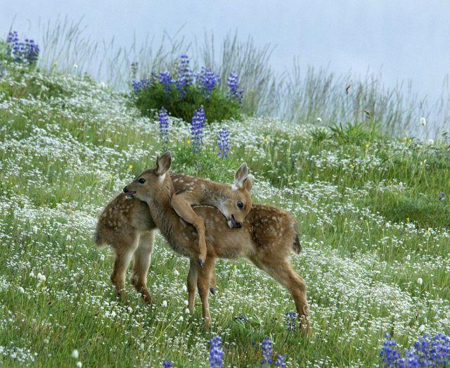 сърни през пролетта