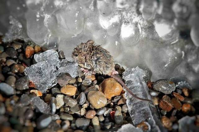 Happy Rescue Of A Little Mouse From The Frigid Waters