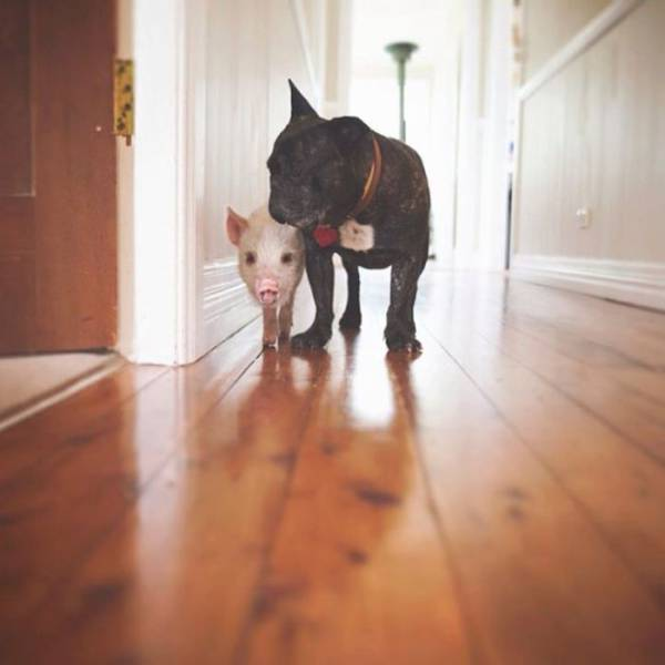 This Cute Little Piggy Thinks She Is A Dog