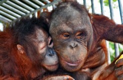 Two of BOSF's special orangutans, Shelton and Kopral, cannot be released back into the wild due to their inabilities but have loved and supported each other throughout their rehabilitation program.