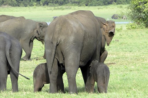 Sri Lanka Rangers Spot Possible Rare Baby Elephant Twins Environment The Jakarta Post