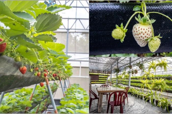 台中清水,沐光農場~2021草莓園開放,高架方便好採果,有紅顏與桃薰特殊種類草莓,還能餵天竺鼠買白草莓。