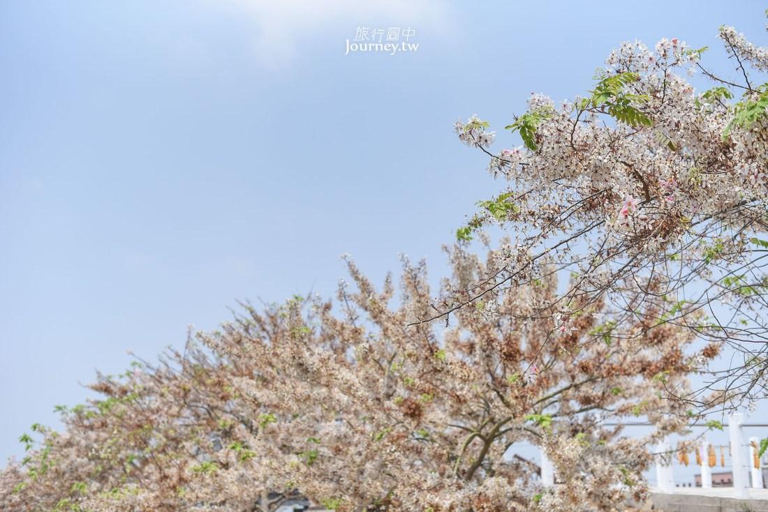 台南市,台南景點,西港區,西港景點,金砂里花旗木步道,花旗木