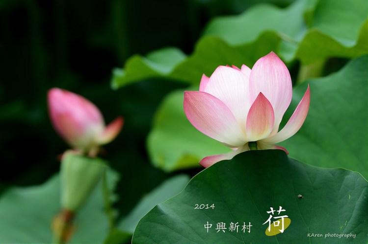 [南投] 2014 中興新村賞荷