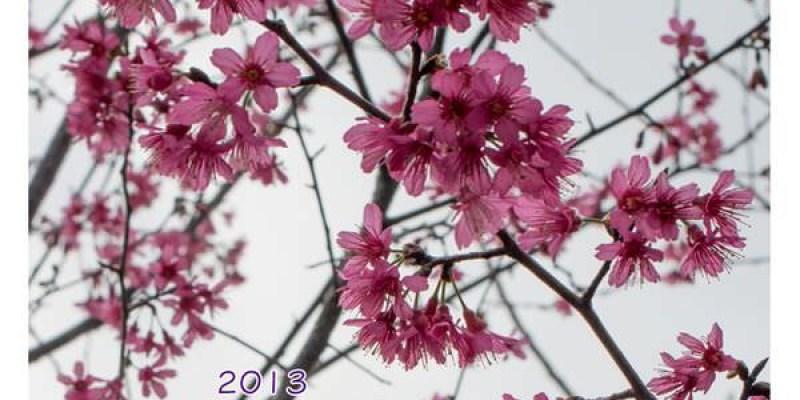 [隨手拍] 2013台中新社區公所賞櫻(2/2花況)