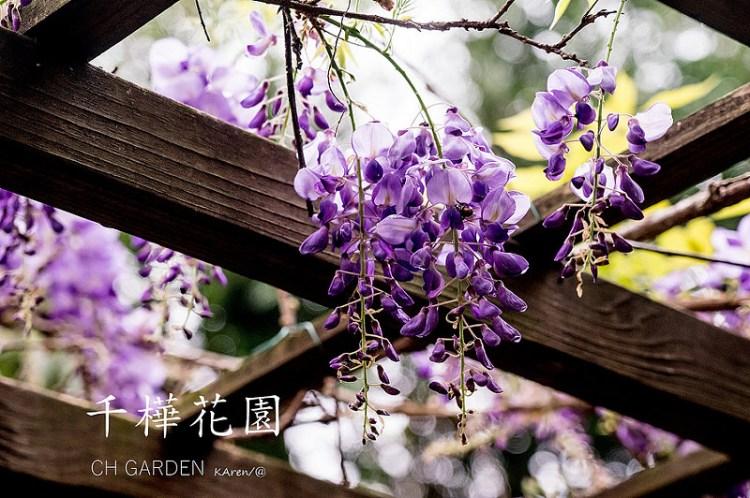 [台中。新社] 千樺花園 CH GARDEN 3月紫藤花