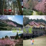 山上人家 | 浪漫粉色富士櫻步道,2021年櫻花季,喜上新聞