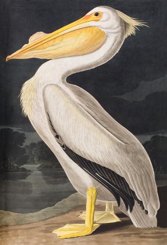 American White Pelican Art Print By John James Audubon At King Amp McGaw