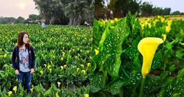 【台中外埔區】黃色海芋田,免入園費的新IG熱門打卡點,超療癒黃金花海好好拍