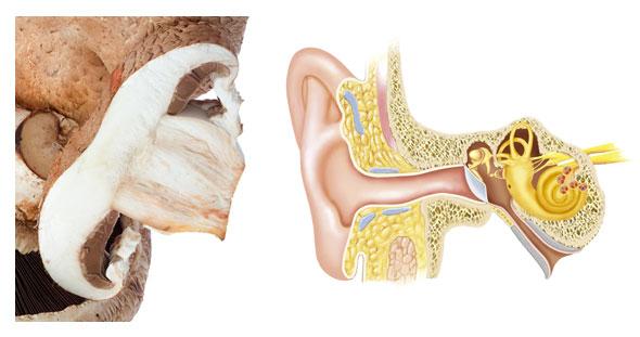 ciuperca se aseamna cu urechea