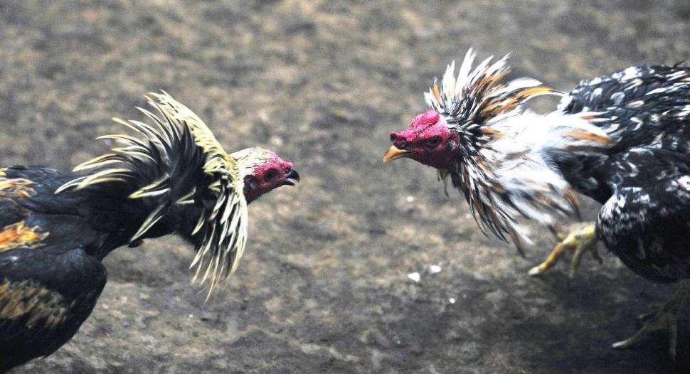 Más de 60 demorados por participar de una riña de gallos en el sur de la Capital