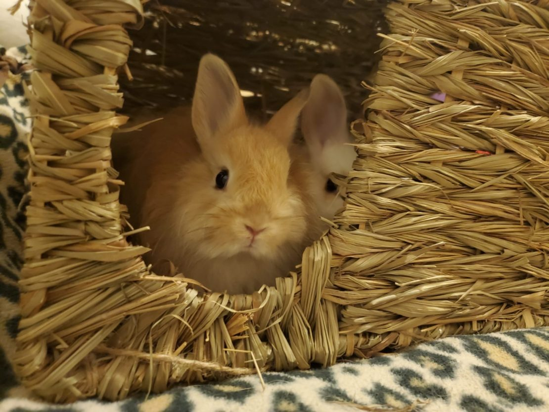 Little tan rabbit pokes his head out of a grass hutch on a leopard rug. Another little bunny pokes his head out.
