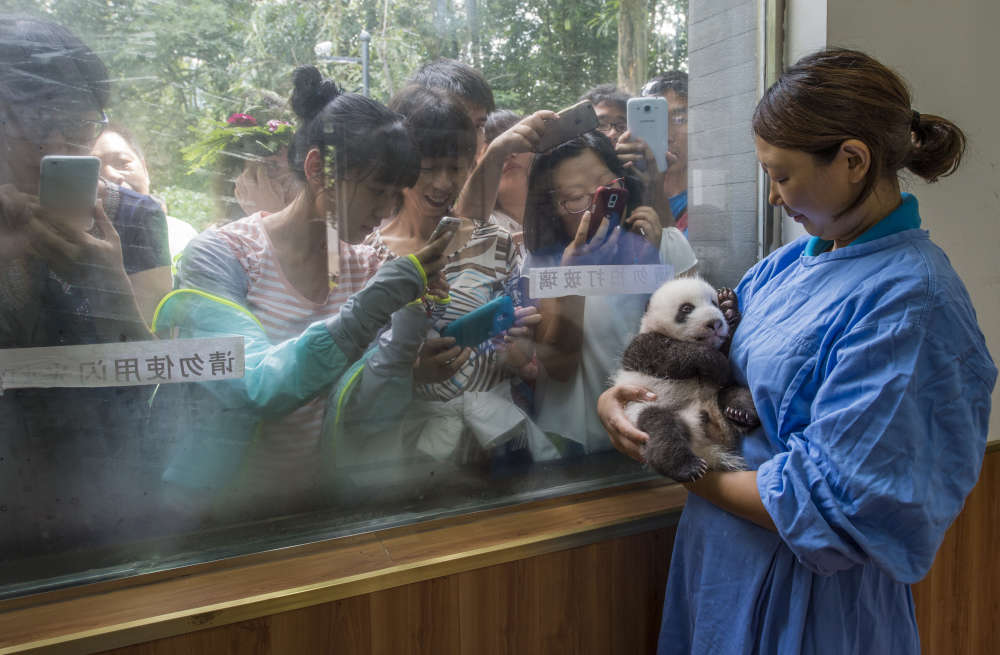 Li Feng, une des employées de la réserve de Bifengxia, pose avec un des rares pandas nés en captivités, face à des touristes enthousiastes.
