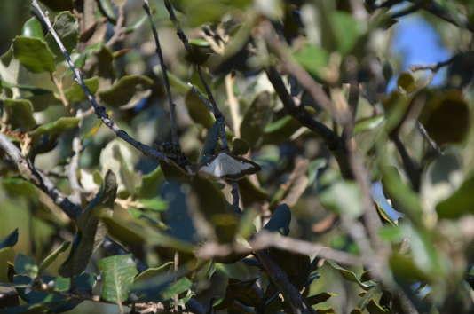 Chaque femelle peut pondre 1 200 oeufs, avec, en France, deux à trois générations par an.
