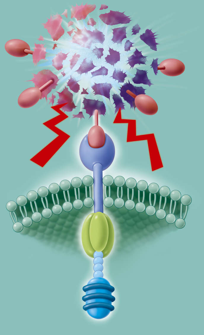 Illustration of the CAR-T cell membrane receptor, a T lymphocyte produced from the patient's cells and genetically modified to recognize tumor cells and destroy them.