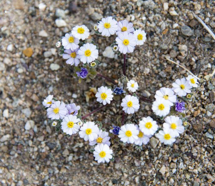 Im Valley of Death, Kalifornien (USA), einem trockenen Wüstenstandort, haben die heftigen Regenfälle vom Oktober 2016 das Auftreten von Blumen begünstigt. Ein beispielloses Phänomen seit über einem Jahrzehnt.