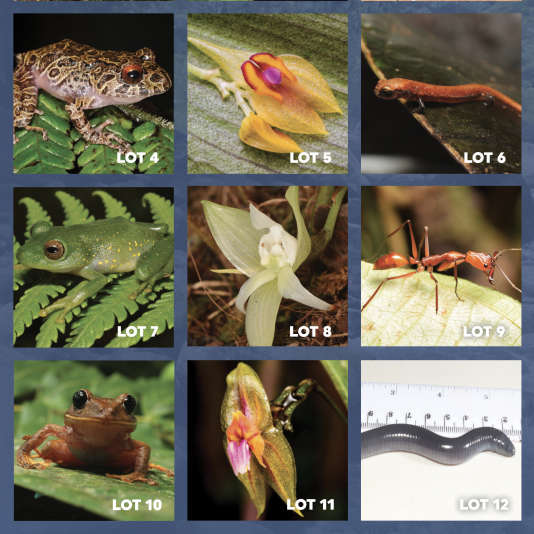 The species to be named during the auction of the American environmental NGO Rainforest Trust, in December 2018.
