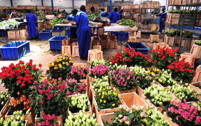 Cut flowers from Kenya, one of the main export products of the country. Here in a horticultural farm in Naivasha.