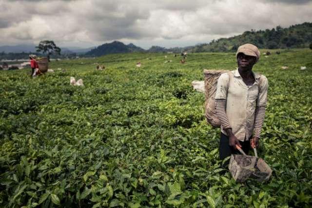Récolte du thé près de Buea, dans la région anglophone du Sud-Ouest, au Cameroun, en avril 2018.