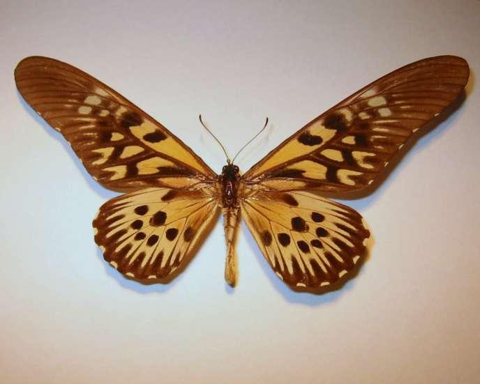Le « Papilio antimachus».