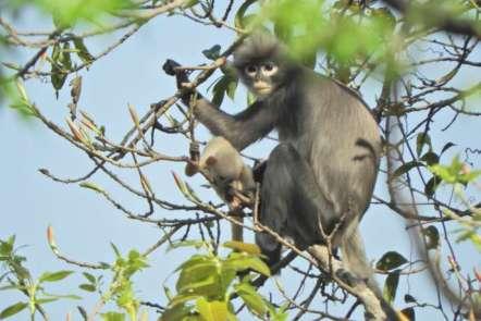 Le Popa langur sur une photo publiée par le centre allemand des primates (DPZ), le 11novembre.