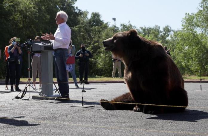 John Cox, candidat républicain au poste de gouverneur de Californie, commence sa tournée en bus « Meet the Beast » dans tout l'Etat, mardi 4mai 2021, avec Tag, un ours brun Kodiak, au Miller Regional Park de Sacramento.