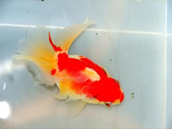 研究:金魚記憶逾三秒 還能分辨古典樂 - 生活 - 自由時報電子報