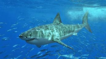 requin blanc australie