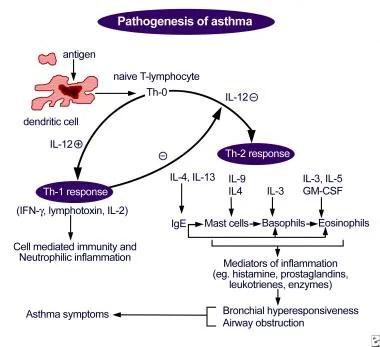 Pathogenesis of asthma. Antigen presentation by th