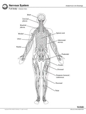 Central Nervous System Anatomy: Overview, Gross Anatomy ...