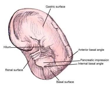 Hilum Definition Anatomy