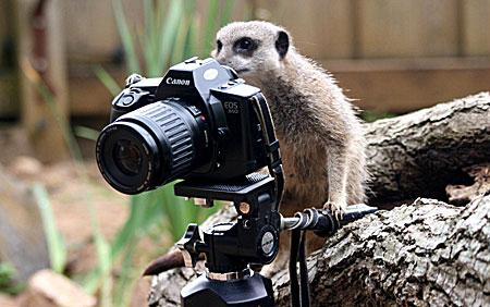 meerkat photographer