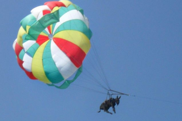 Anapka the donkey,cruelly forced to parasail over a southern Russian beach.