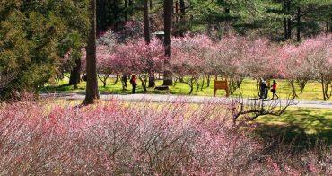 【台中武陵農場】梅花季和櫻花季一樣很美,12~1月梅花滿開的風采
