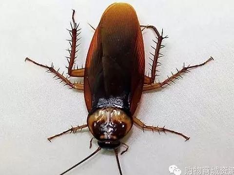 滅蟑螂最有效的方法是什么 怎么消滅蟑螂-搜狐
