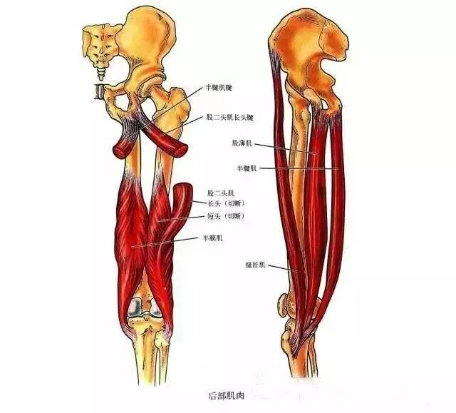 膝關節解剖-膝關節的四面觀